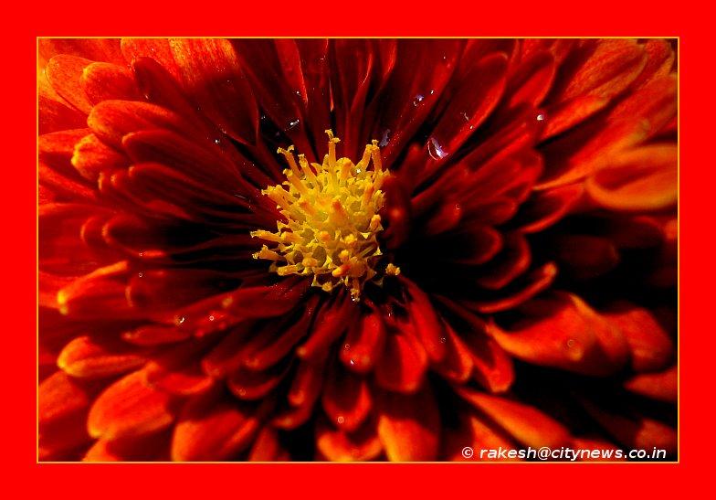 Guldaudi or Chrysanthemum indicum