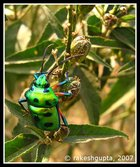 Green Metallic Bug