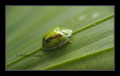 Green Tortoise Beetle